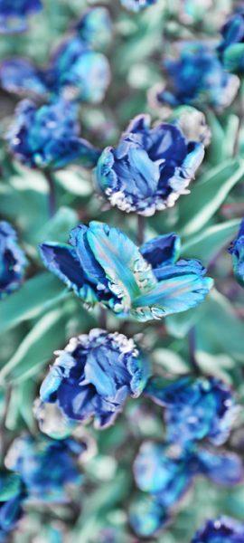 Parrottulip-blue+