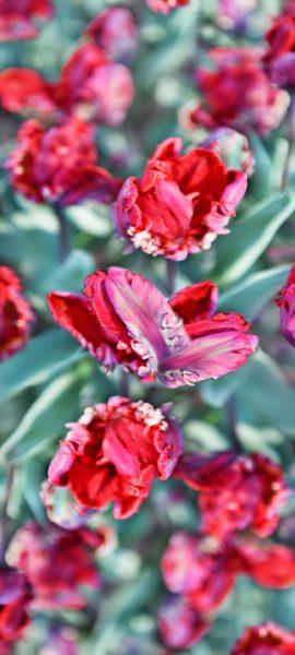 Parrottulip-red+