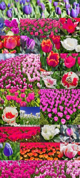 tulip-pink+