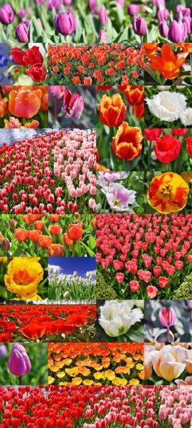 tulip-red+